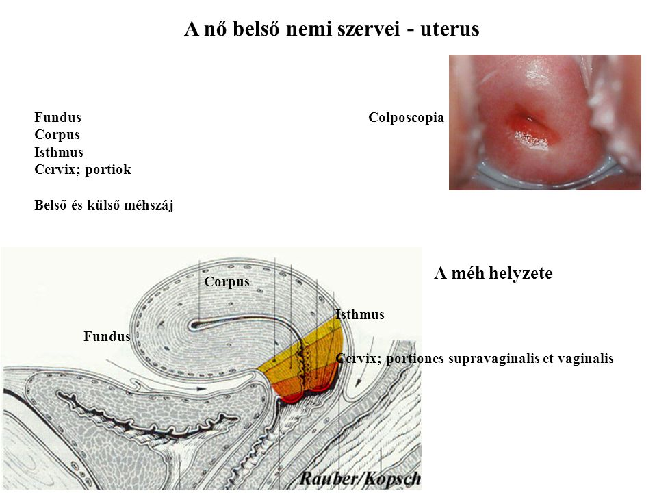 A nő belső nemi szervei - uterus Fundus Corpus Isthmus Cervix; portiones supravaginalis et vaginalis Fundus Corpus Isthmus Cervix; portiok Belső és kü
