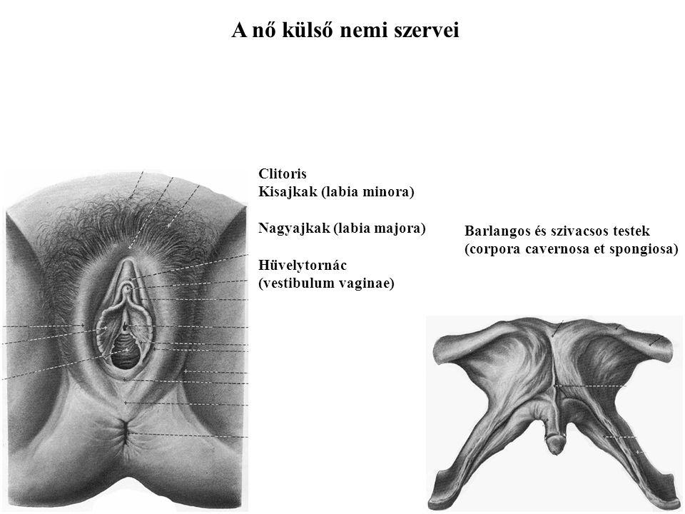 A nő külső nemi szervei Clitoris Kisajkak (labia minora) Nagyajkak (labia majora) Hüvelytornác (vestibulum vaginae) Barlangos és szivacsos testek (cor