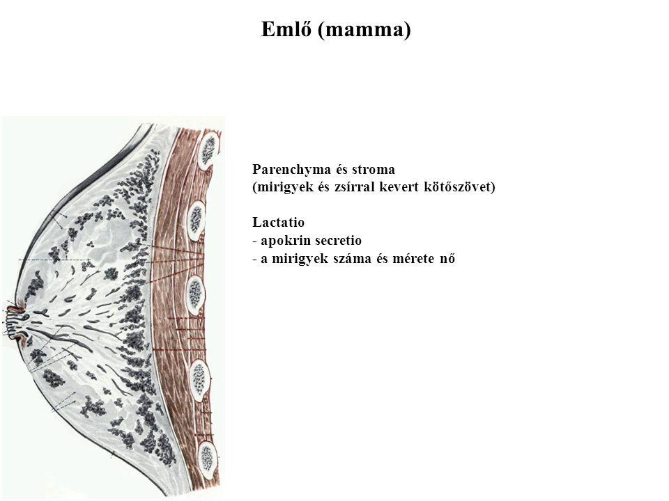 Emlő (mamma) Parenchyma és stroma (mirigyek és zsírral kevert kötőszövet) Lactatio - apokrin secretio - a mirigyek száma és mérete nő