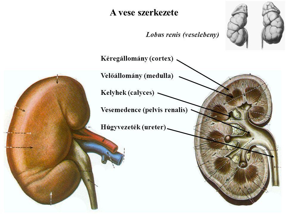 A vese szerkezete Kéregállomány (cortex) Velőállomány (medulla) Kelyhek (calyces) Vesemedence (pelvis renalis) Húgyvezeték (ureter) Lobus renis (vesel
