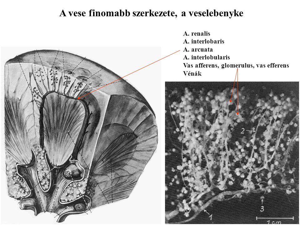 A vese finomabb szerkezete, a veselebenyke A. renalis A. interlobaris A. arcuata A. interlobularis Vas afferens, glomerulus, vas efferens Vénák