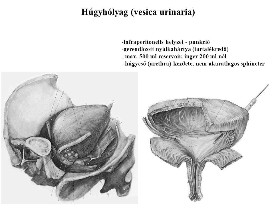 Húgycső (urethra) Férfiban - hosszabb - sphincterek - partes intramuralis, prostaticus, membranacea et spongiosa Nőben - rövidebb - sphincterek