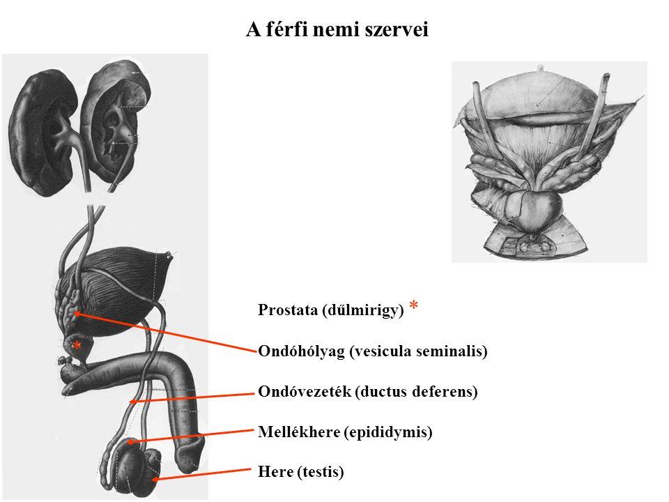 A férfi nemi szervei Prostata (dűlmirigy) * Ondóhólyag (vesicula seminalis) Ondóvezeték (ductus deferens) Mellékhere (epididymis) Here (testis) *