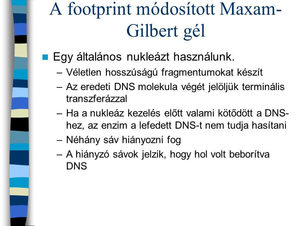 A footprint módosított Maxam- Gilbert gél Egy általános nukleázt használunk. –Véletlen hosszúságú fragmentumokat készít –Az eredeti DNS molekula végét