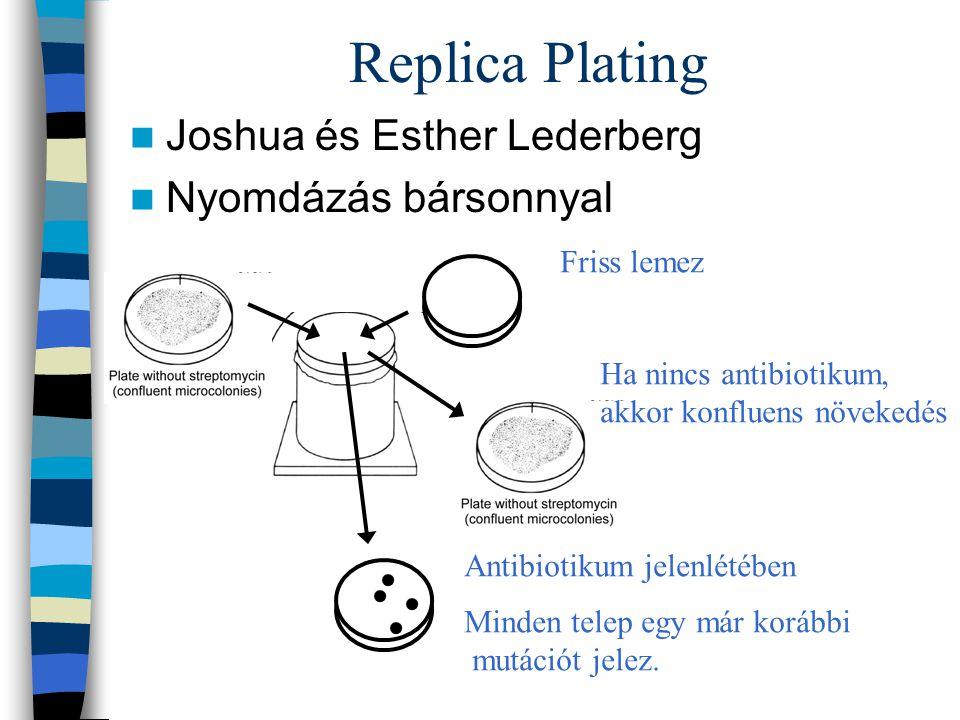 Replica Plating Joshua és Esther Lederberg Nyomdázás bársonnyal Friss lemez Ha nincs antibiotikum, akkor konfluens növekedés Antibiotikum jelenlétében