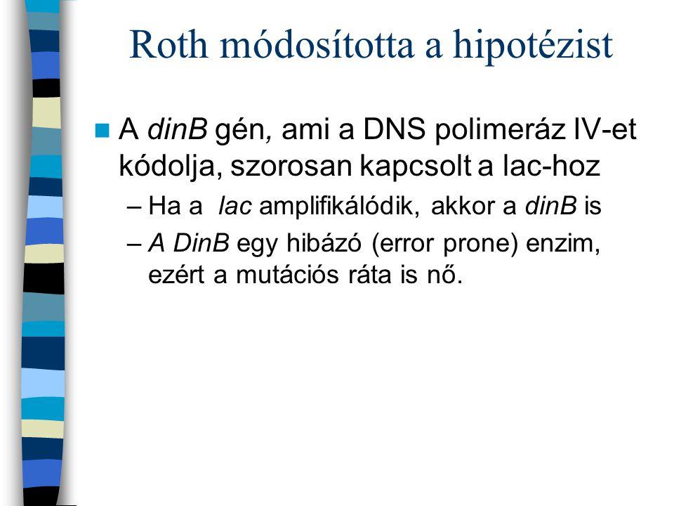 Roth módosította a hipotézist A dinB gén, ami a DNS polimeráz IV-et kódolja, szorosan kapcsolt a lac-hoz –Ha a lac amplifikálódik, akkor a dinB is –A