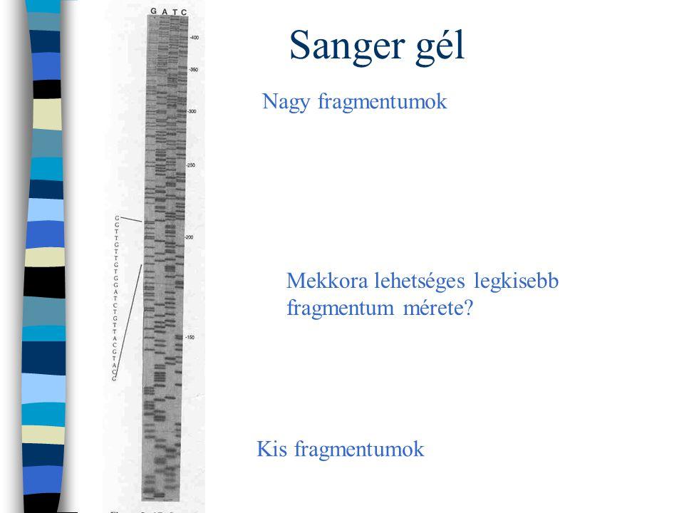 Sanger gél Nagy fragmentumok Kis fragmentumok Mekkora lehetséges legkisebb fragmentum mérete?