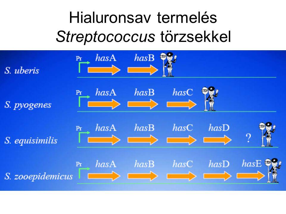 Hialuronsav termelés Streptococcus törzsekkel