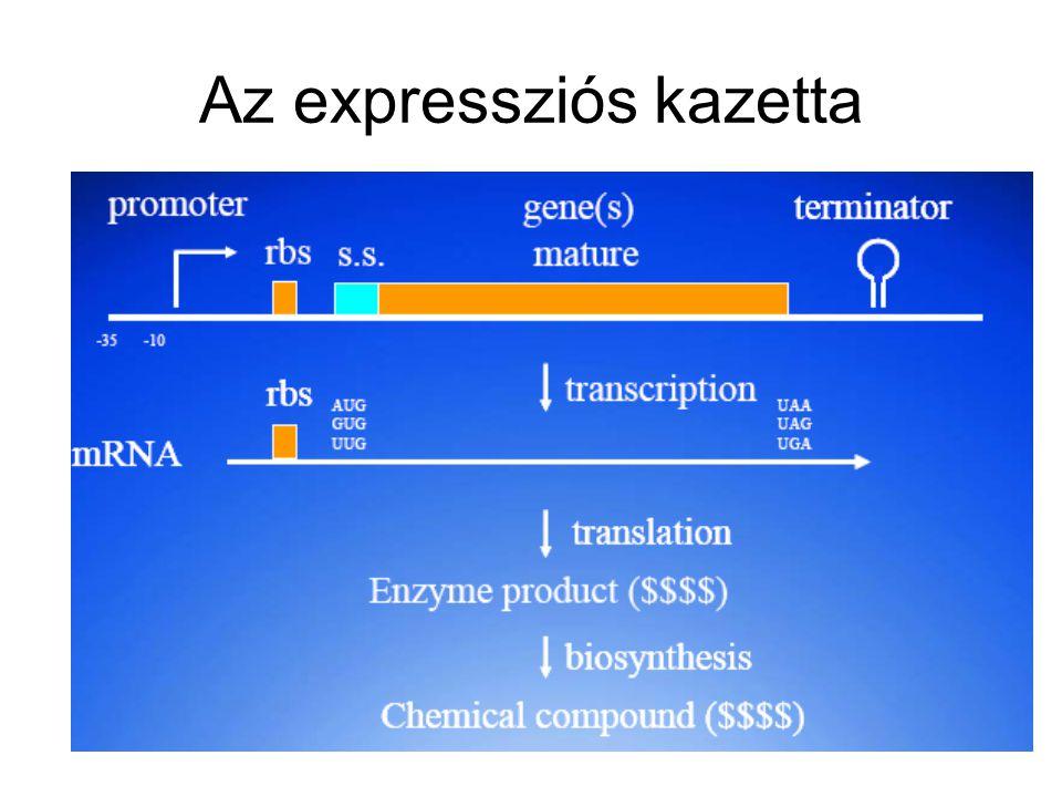 Bacillus gazdák Bacillus subtilis –Szekréció jó –amyE, nprE, aprE, spoIIAC, srfC deléciók –Természetes kompetencia Bacillus licheniformis –Szekréció jó –Kis extracelluláris proteáz aktivitás, spo –Elektroporáció, konjugáció, protoplaszt