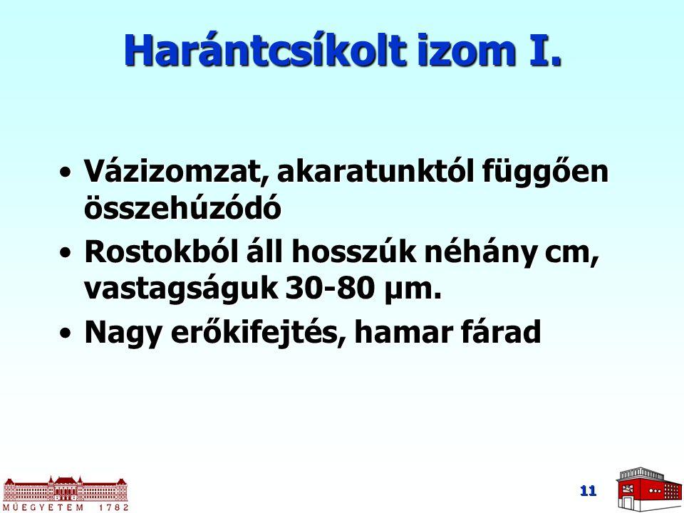 11 Harántcsíkolt izom I.
