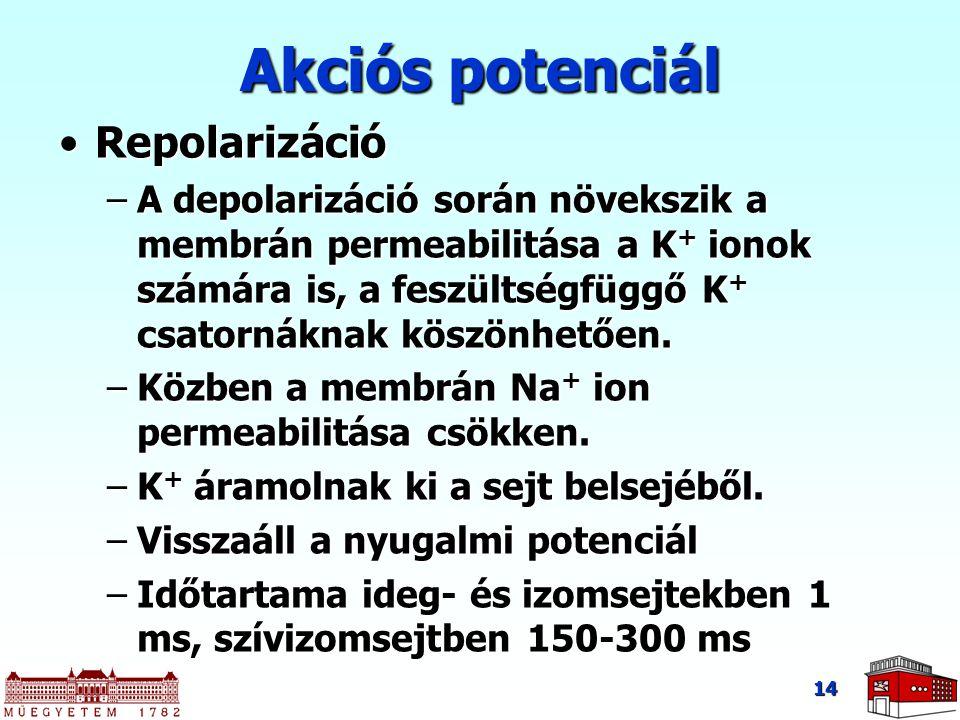14 Akciós potenciál RepolarizációRepolarizáció –A depolarizáció során növekszik a membrán permeabilitása a K + ionok számára is, a feszültségfüggő K +