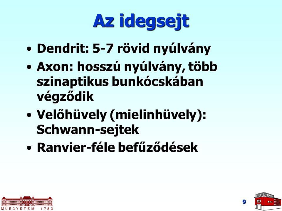 9 Az idegsejt Dendrit: 5-7 rövid nyúlványDendrit: 5-7 rövid nyúlvány Axon: hosszú nyúlvány, több szinaptikus bunkócskában végződikAxon: hosszú nyúlván