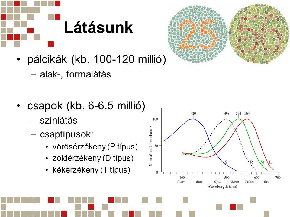 Látásunk pálcikák (kb. 100-120 millió) –alak-, formalátás csapok (kb. 6-6.5 millió) –színlátás –csaptípusok: vörösérzékeny (P típus) zöldérzékeny (D t