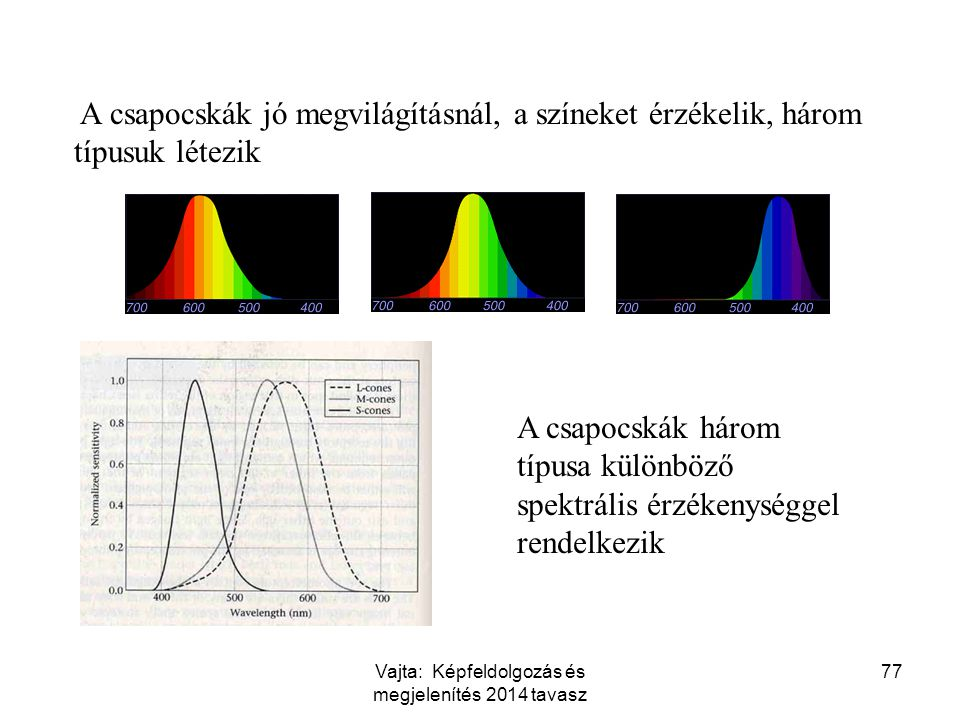 77 A csapocskák jó megvilágításnál, a színeket érzékelik, három típusuk létezik A csapocskák három típusa különböző spektrális érzékenységgel rendelke