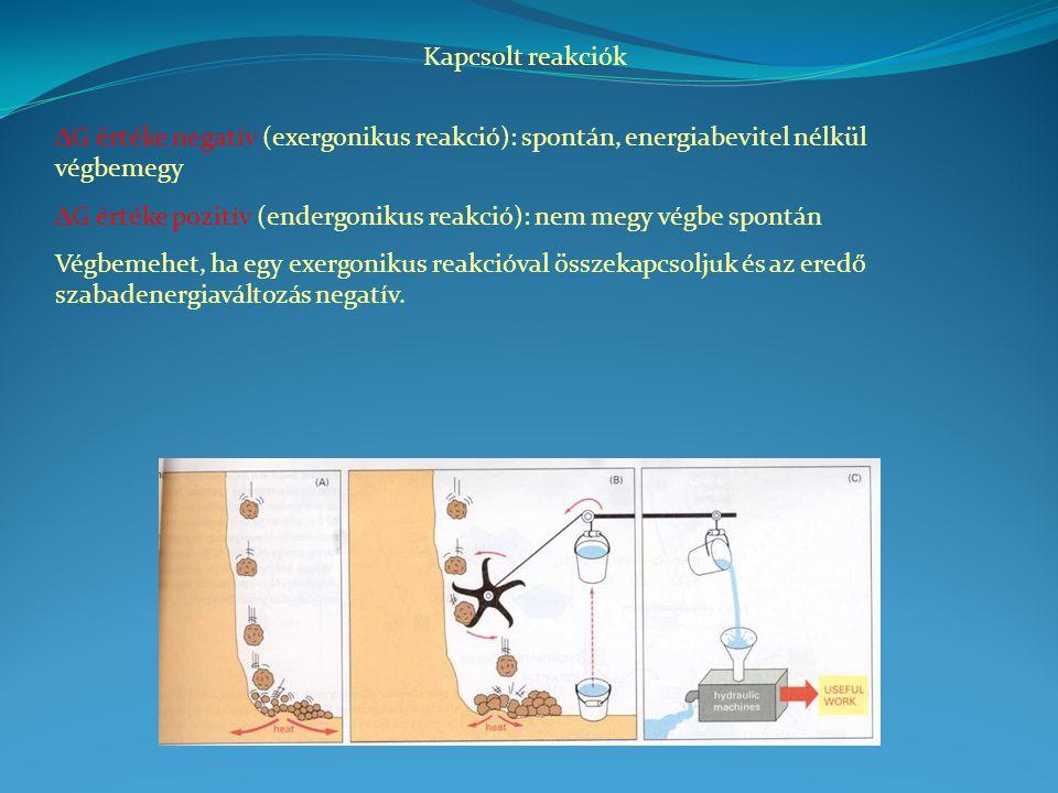 Kapcsolt reakciók  G értéke negatív (exergonikus reakció): spontán, energiabevitel nélkül végbemegy  G értéke pozitív (endergonikus reakció): nem megy végbe spontán Végbemehet, ha egy exergonikus reakcióval összekapcsoljuk és az eredő szabadenergiaváltozás negatív.