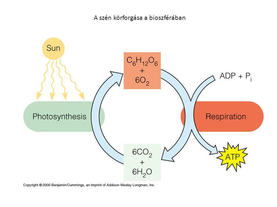 Nitrogénmegkötés Az autotróf élőlények a légkörből, vagy a talaj nitrátjáből kötik meg.