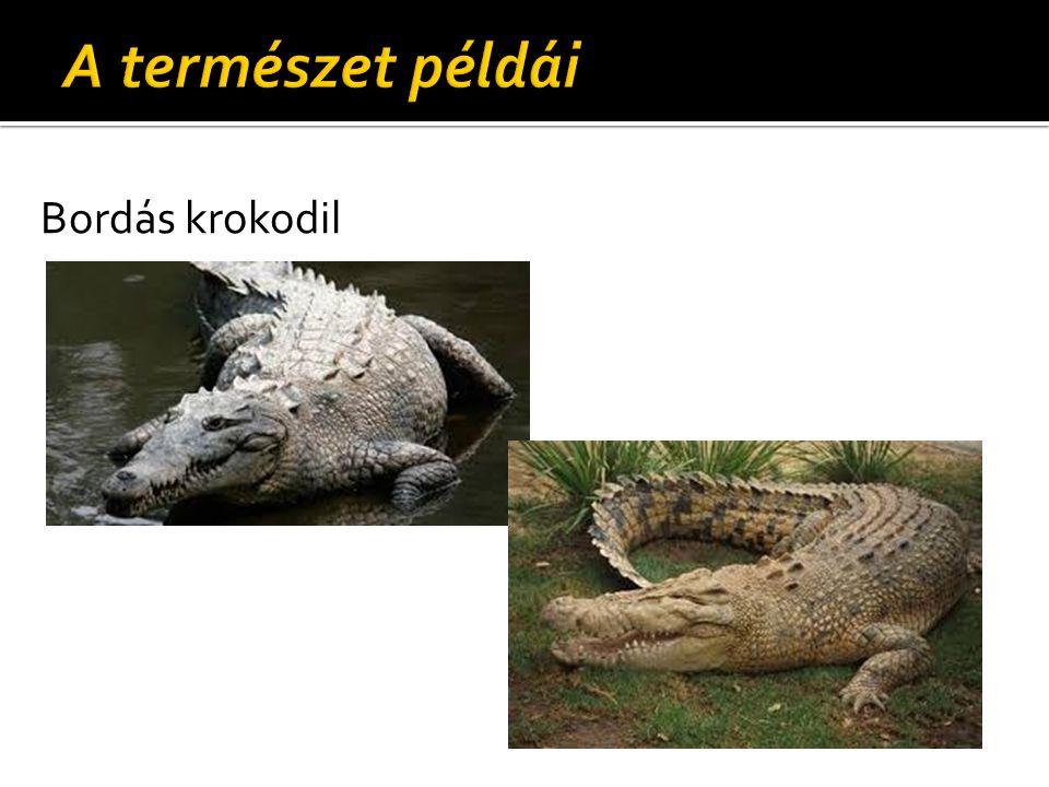 Bordás krokodil