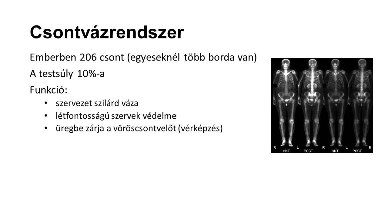 Emberben 206 csont (egyeseknél több borda van) A testsúly 10%-a Funkció: szervezet szilárd váza létfontosságú szervek védelme üregbe zárja a vöröscson