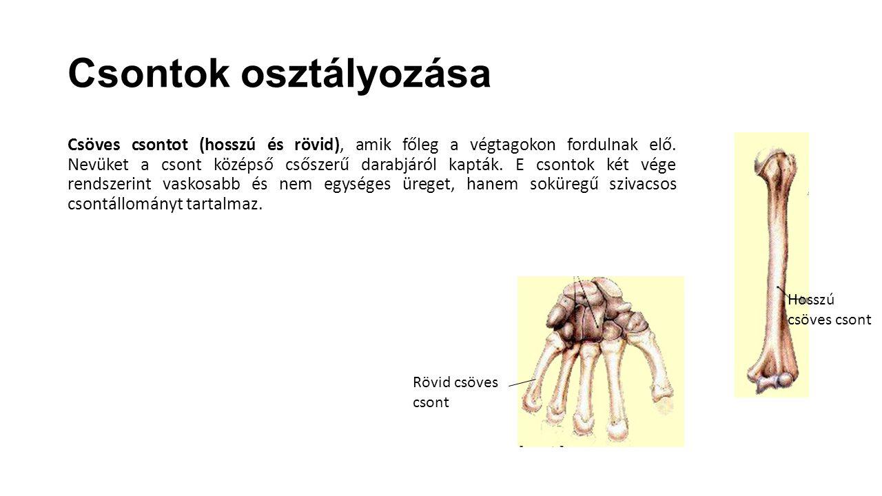 Csontok osztályozása Csöves csontot (hosszú és rövid), amik főleg a végtagokon fordulnak elő. Nevüket a csont középső csőszerű darabjáról kapták. E cs