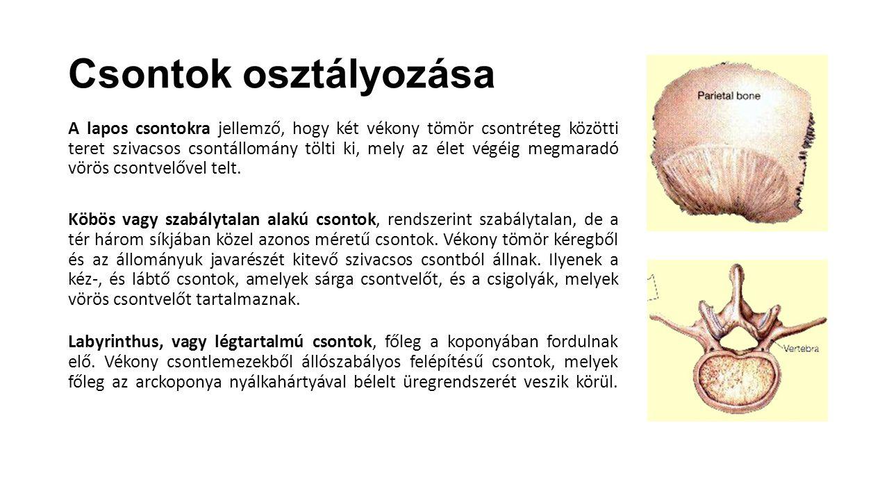 Csontok osztályozása A lapos csontokra jellemző, hogy két vékony tömör csontréteg közötti teret szivacsos csontállomány tölti ki, mely az élet végéig