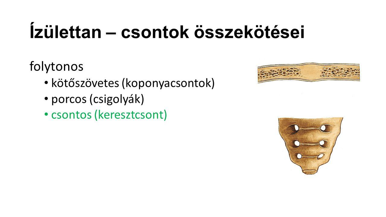 Ízülettan – csontok összekötései folytonos kötőszövetes (koponyacsontok) porcos (csigolyák) csontos (keresztcsont)