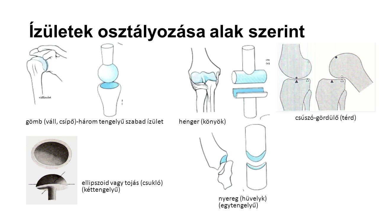 Ízületek osztályozása alak szerint gömb (váll, csípő)-három tengelyű szabad ízülethenger (könyök) ellipszoid vagy tojás (csukló) (kéttengelyű) nyereg