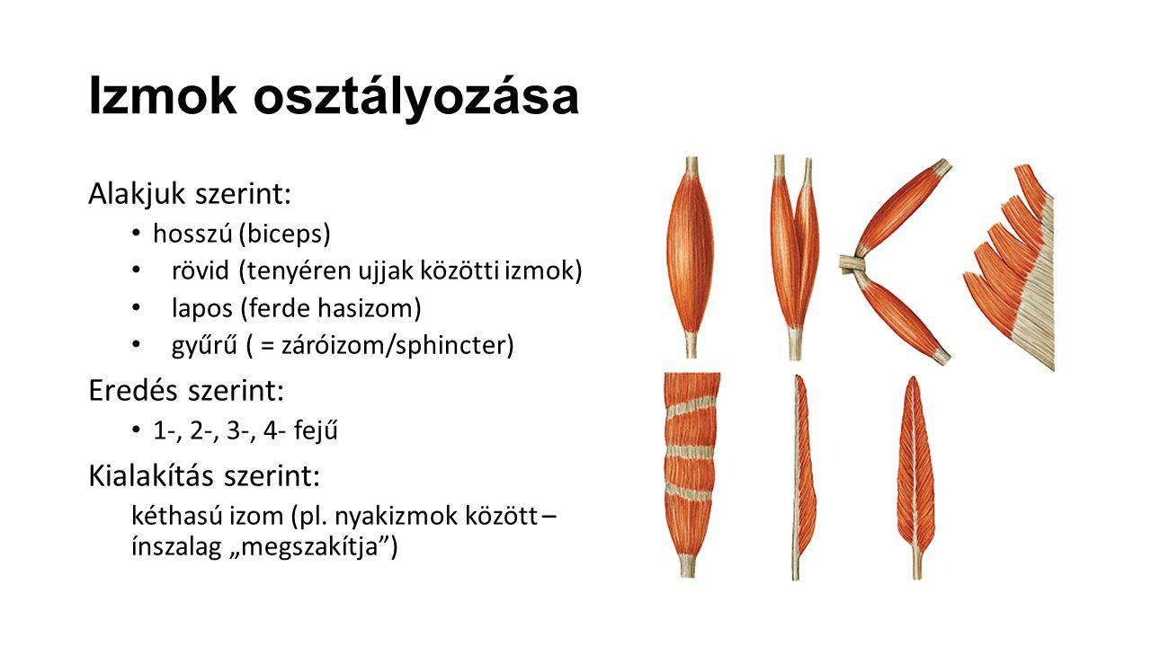 Izmok osztályozása Alakjuk szerint: hosszú (biceps) rövid (tenyéren ujjak közötti izmok) lapos (ferde hasizom) gyűrű ( = záróizom/sphincter) Eredés sz