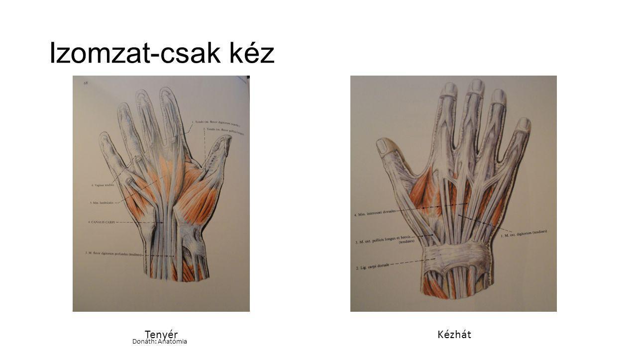 Izomzat-csak kéz TenyérKézhát Donáth: Anatómia