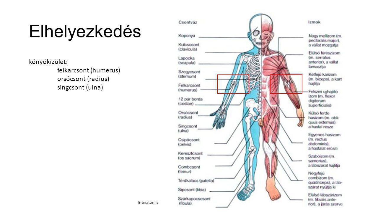 Elhelyezkedés könyökízület: felkarcsont (humerus) orsócsont (radius) singcsont (ulna) E-anatómia