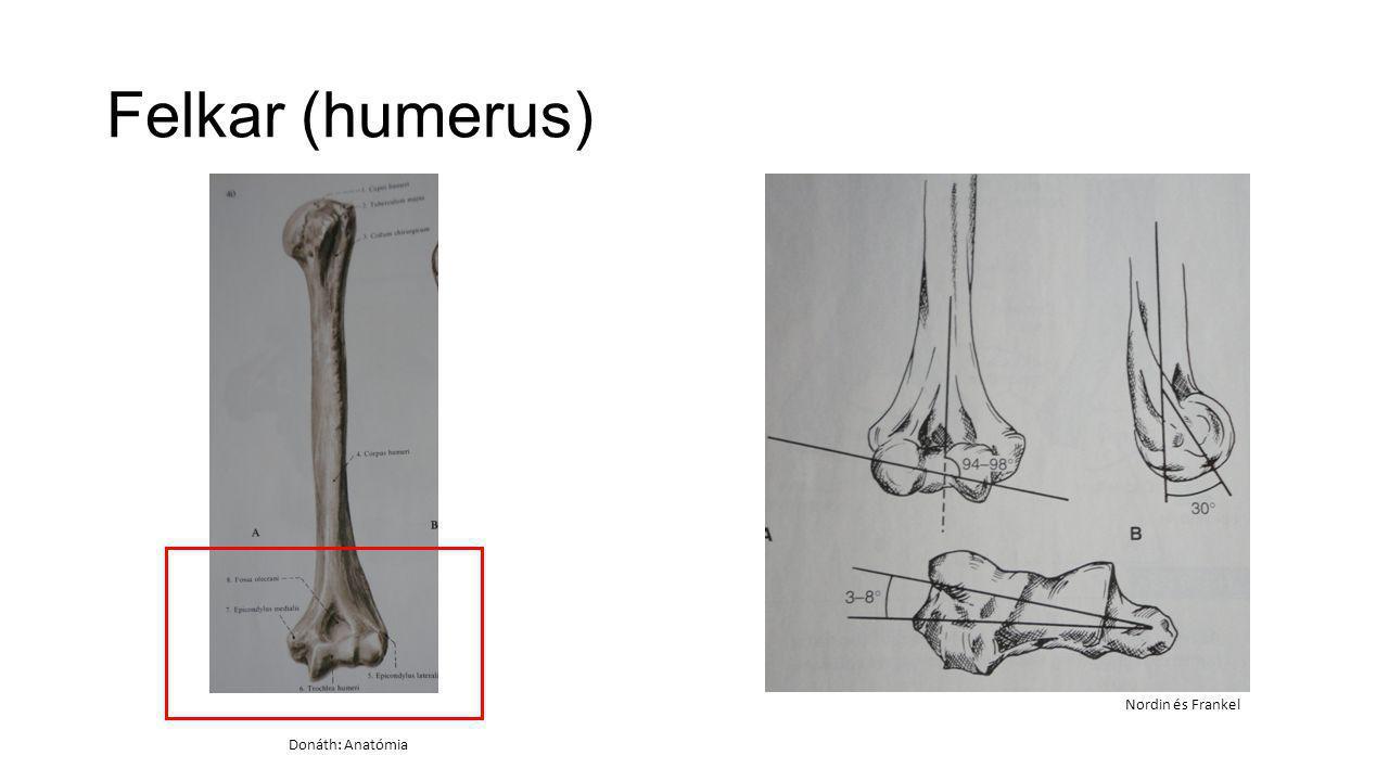 Izomzat TenyérKézhát Donáth: Anatómia