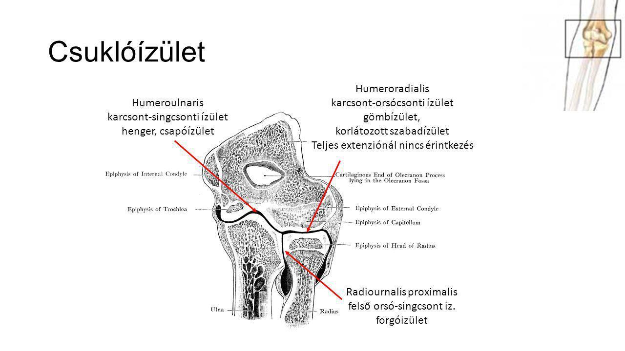 Csuklóízület Humeroulnaris karcsont-singcsonti ízület henger, csapóízület Humeroradialis karcsont-orsócsonti ízület gömbízület, korlátozott szabadízül