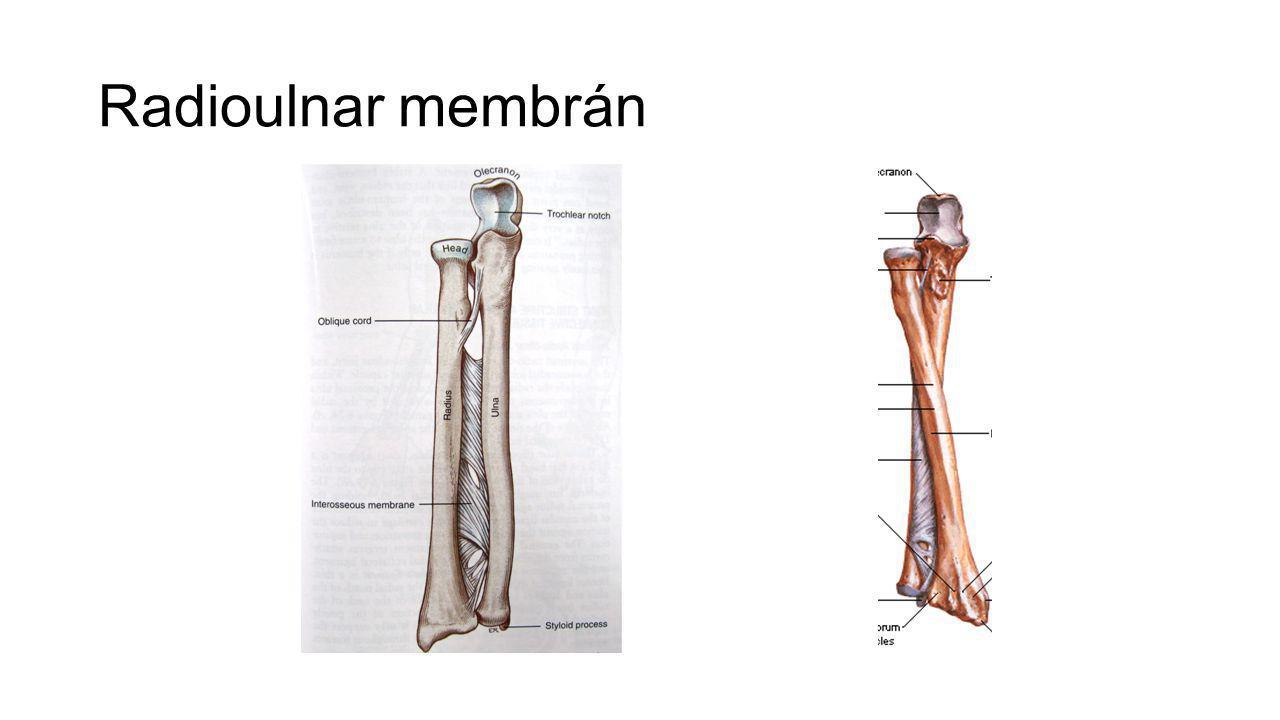 Alkar orsócsont singcsont Donáth: Anatómia