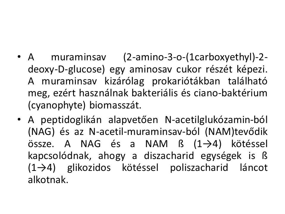 A peptidoglikán kialakulása: a muraminsavhoz kötődő tejsav szabad karboxilcsoportja rövid tetrapeptidet köt meg.