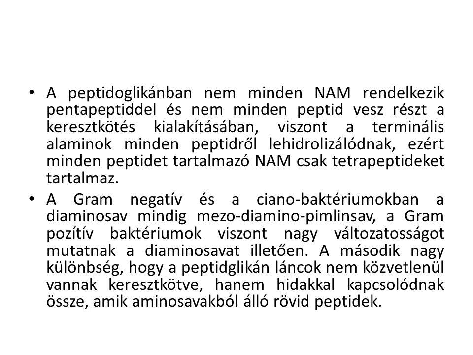 A peptidoglikánban nem minden NAM rendelkezik pentapeptiddel és nem minden peptid vesz részt a keresztkötés kialakításában, viszont a terminális alaminok minden peptidről lehidrolizálódnak, ezért minden peptidet tartalmazó NAM csak tetrapeptideket tartalmaz.