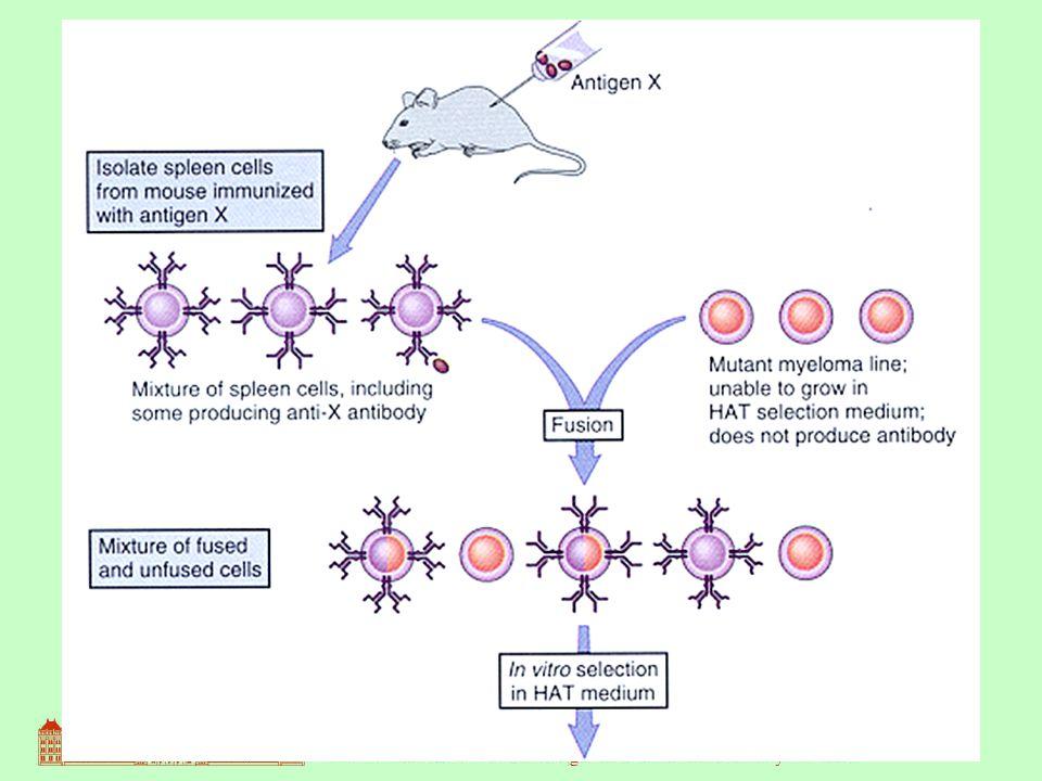 8 A fúzió után többféle sejt van jelen: - fuzionálatlan plazmasejtek - fuzionálatlan tumorsejtek - hibridómák ezek közül kell izolálni a hibridómákat.