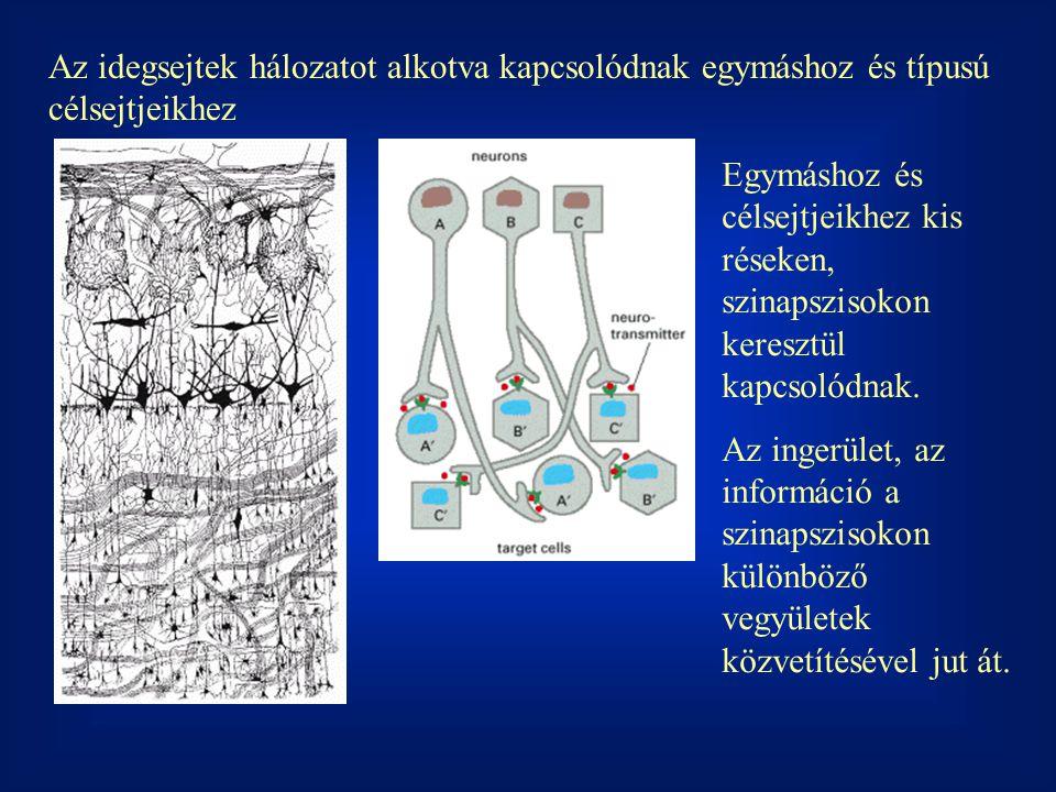 Az idegsejtek hálozatot alkotva kapcsolódnak egymáshoz és típusú célsejtjeikhez Egymáshoz és célsejtjeikhez kis réseken, szinapszisokon keresztül kapcsolódnak.