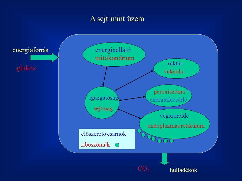 A sejt mint üzem energiaforrás hulladékok energiaellátó mitokondrium igazgatóság sejtmag raktár vakuola végszerelde endoplazmás retikulum peroxiszóma