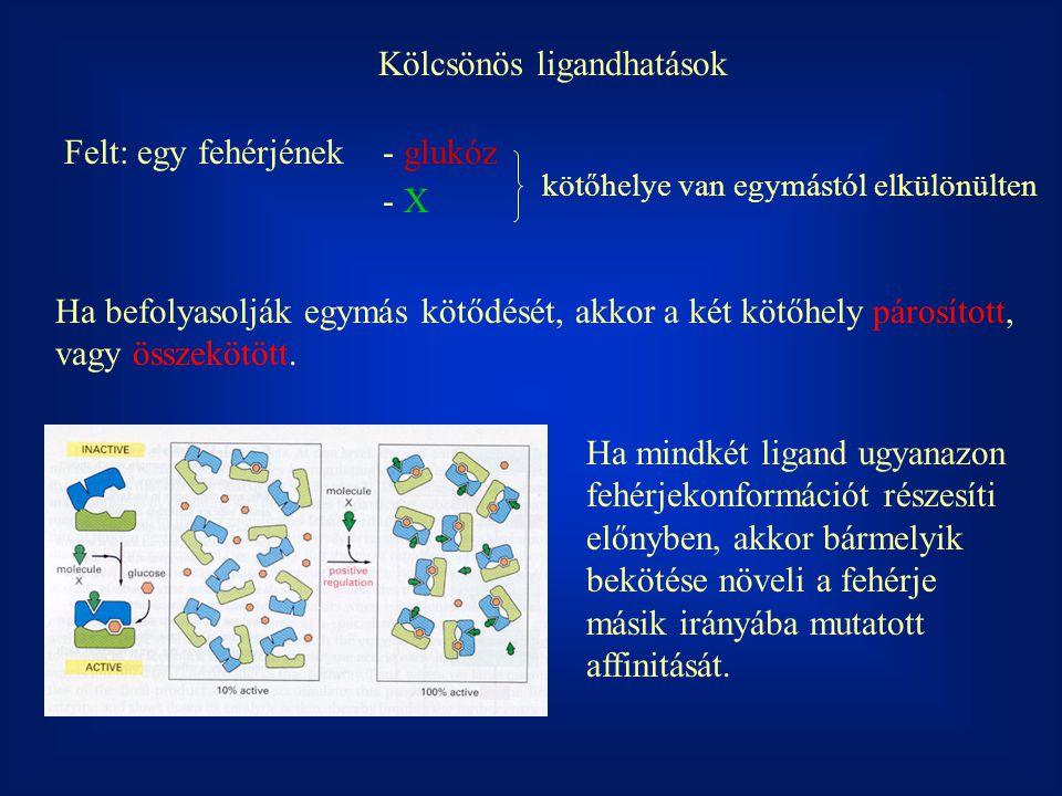 Kölcsönös ligandhatások Felt: egy fehérjének- glukóz - X kötőhelye van egymástól elkülönülten Ha befolyasolják egymás kötődését, akkor a két kötőhely
