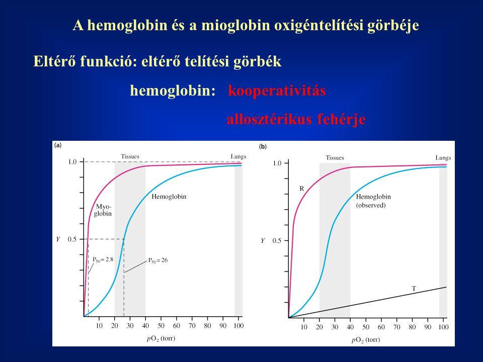 A hemoglobin és a mioglobin oxigéntelítési görbéje Eltérő funkció: eltérő telítési görbék hemoglobin: kooperativitás allosztérikus fehérje