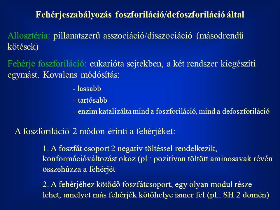 Fehérjeszabályozás foszforiláció/defoszforiláció által Allosztéria: pillanatszerű asszociáció/disszociáció (másodrendű kötések) Fehérje foszforiláció: