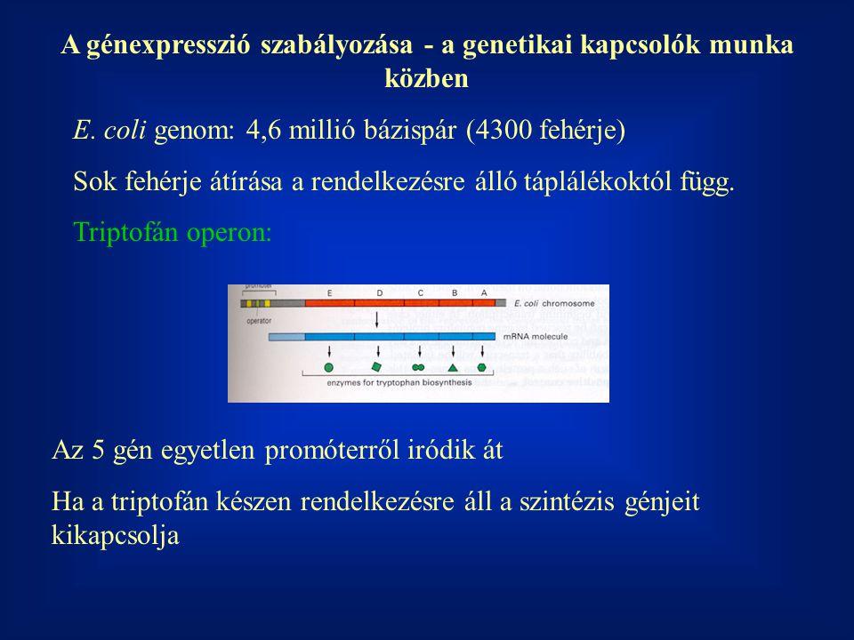 A génexpresszió szabályozása - a genetikai kapcsolók munka közben E. coli genom: 4,6 millió bázispár (4300 fehérje) Sok fehérje átírása a rendelkezésr
