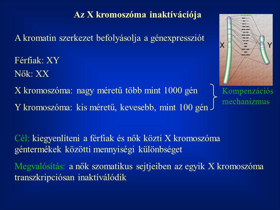 Az X kromoszóma inaktívációja A kromatin szerkezet befolyásolja a génexpressziót Férfiak: XY Nők: XX X kromoszóma: nagy méretű több mint 1000 gén Y kr
