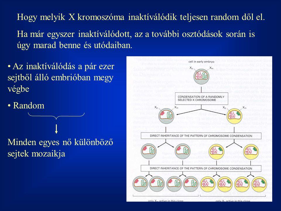 Hogy melyik X kromoszóma inaktíválódik teljesen random dől el. Ha már egyszer inaktíválódott, az a további osztódások során is úgy marad benne és utód
