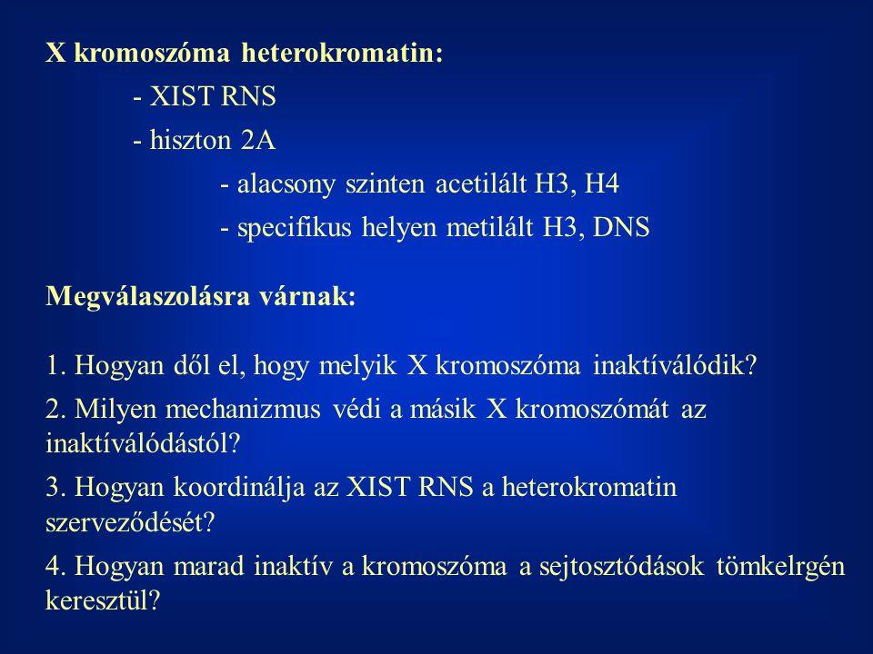 X kromoszóma heterokromatin: - XIST RNS - hiszton 2A - alacsony szinten acetilált H3, H4 - specifikus helyen metilált H3, DNS Megválaszolásra várnak:
