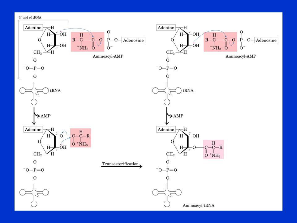Az aminoacil-tRNS szintetázok két osztálya I. csoport II. csoport
