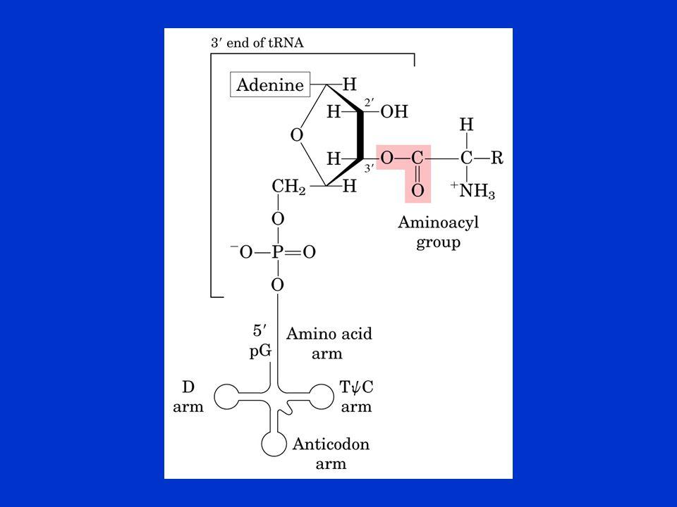 """Az aminoacil-tRNS aminosavakat felismerő funkciója: """"proofreading Három lehetőség a korrekt aminosav felismerésére: aminosav kötése az aminoacil-AMP átkerül egy hidrolítikus helyre, az inkorrekten aktivált aminosav hidrolizál az inkorrekten töltött aminoacil-tRNS szintén hidrolizálhat"""