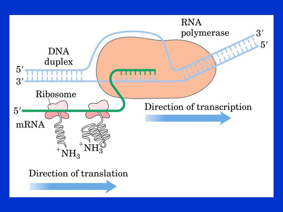 Poszttranszlációs Módosulások Amino- és karboxiterminálist érintő módosulások Szignálszekvenciák lehasítása Egyes aminosavak módosulásai Glikoziláció Izopreniláció Prosztetikus csoport beépülése Proleolítikus hasítás Diszulfid kötések kialakulása