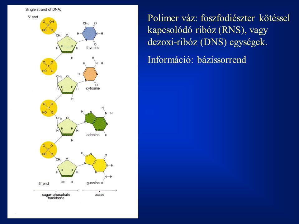Polimer váz: foszfodiészter kötéssel kapcsolódó ribóz (RNS), vagy dezoxi-ribóz (DNS) egységek. Információ: bázissorrend