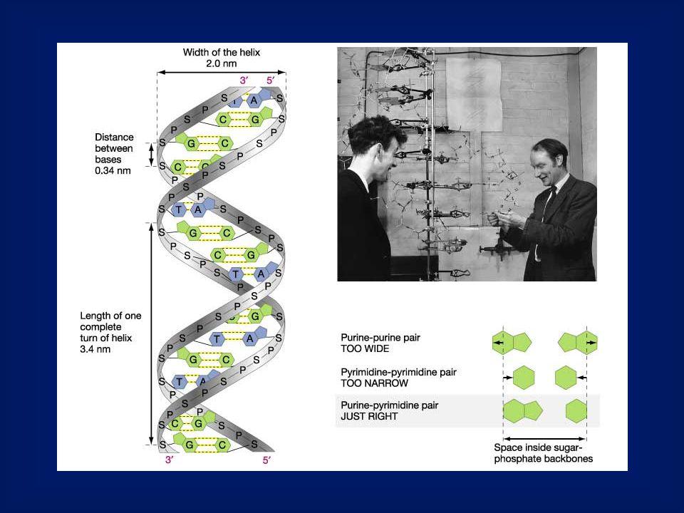 Az eukarióta DNS replikáció sajátságai A replikáció a hosszú lineáris DNS molekula mentén egyszerre sok startponton indul meg.