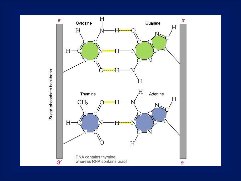 Ribonukleinsavak mRNS: ez a molekula szállítja a fehérjék szerkezetére vonatkozó genetikai információt a DNS irányából a fehérjék szintéziséért felelős szervecskéhez a riboszómákhoz.